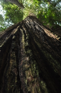 Giant Redwood - Cathedral Trees Trail - Orick, CA